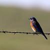 Western Bluebird 1 along Cooperstown Rd