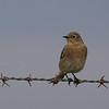 Mountain Bluebird female along Cooperstown Rd