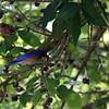 Western Bluebird at Faith Ranch