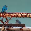 Bluebirds at corral