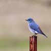 Mountain Bluebird male along Cooperstown Rd