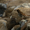 Hermit Thrush at Frank Raines Park