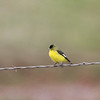 Lesser Goldfinch along Cooperstown Rd