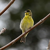 Lesser Goldfinch at home