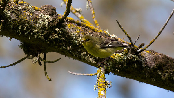 Lesser Goldfinch at Turlock Lake Campground