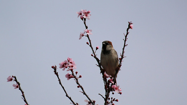 House Sparrow at home