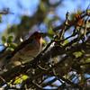 Purple Finch at La Grange Trail