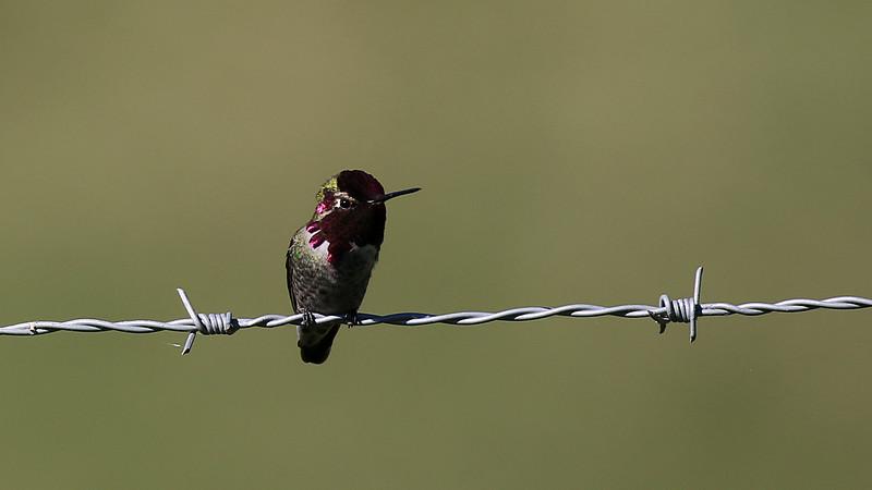 Anna's Hummingbird male at Owl Rock, Del Puerto Canyon