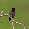 Annas Hummingbird male along Del Puerto Canyon 1