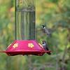 Hummingbirds at John's House