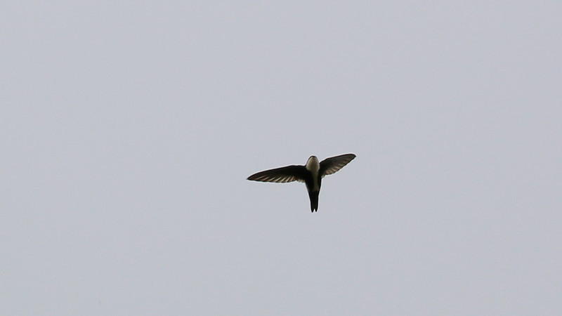 White-throated Swift at Knights Ferry