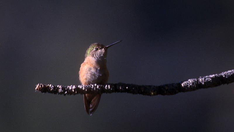 calliope_hummingbird