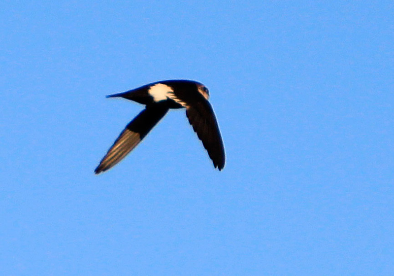 White-throated-Swift-Ceres-WTP-2542459020-O