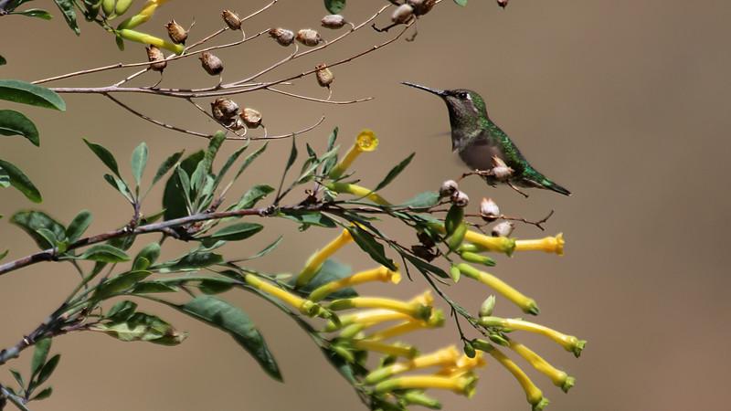 Tree Tobacco and Hummingbird