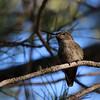 Anna's Hummingbird imm at Deercreek Campground