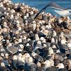 Gull Flock on the Ground