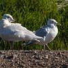 Glaucous Gull - 1st winter