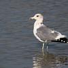 California Gull at Ceres WTP