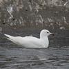Leucistic Thayers Gull