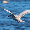 Glaucous-winged Gull imm