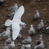 Iceland Gull (Thayers - leucistic)