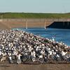 Gulls at Recology