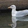 Glaucous-winged Gull at Modesto STP