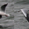 Black-headed Gull in STA (enlarged)