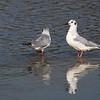 Bonapartes Gulls at Ceres WTP