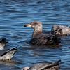 Herring Gull - 1st Winter