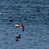 Franklin's Gull alternate in flight at MSP