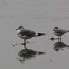 Mew and Bonaparte's Gulls at Ceres WTP
