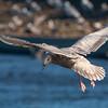 """""""Kumlien's"""" Iceland Gull - 1st Winter"""