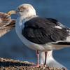 Slaty-backed Gull - adult
