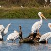 Pelicans at Faith Ranch
