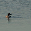 Common Loon at Turlock Lake