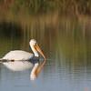 American White Pelican at Faith Ranch