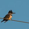 Belted Kingfisher along Davis Rd