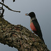 Lewis's Woodpecker along Cooperstown Rd
