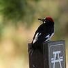 Acorn Woodpecker at Knights Ferry