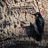 Acorn Woodpecker at Knight's Ferry