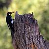 Knights Ferry Acorn Woodpecker2