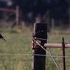 Yellow-headed Blackbird flock