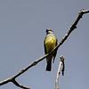 Western Kingbird in Del Puerto Canyon