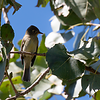 Pacific-slope Flycatcher at Faith Ranch