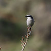 Loggerhead Shrike Del Puerto Canyon, STA
