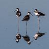 Black-necked Stilts trio