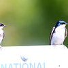Tree Swallows at Faith Ranch