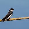 Tree Swallow juv at Modesto WTF