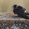 Cliff Swallow juvenile along Sonora Rd